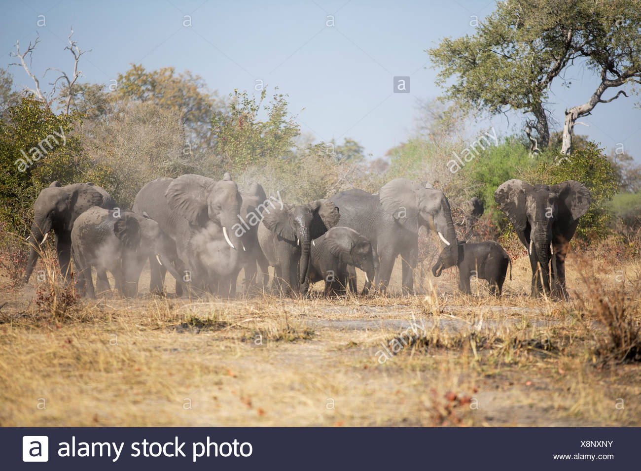 African elephants (Loxodonta africana) herd stirring up the dust Caprivi Region, Namibia, Africa - Stock Image