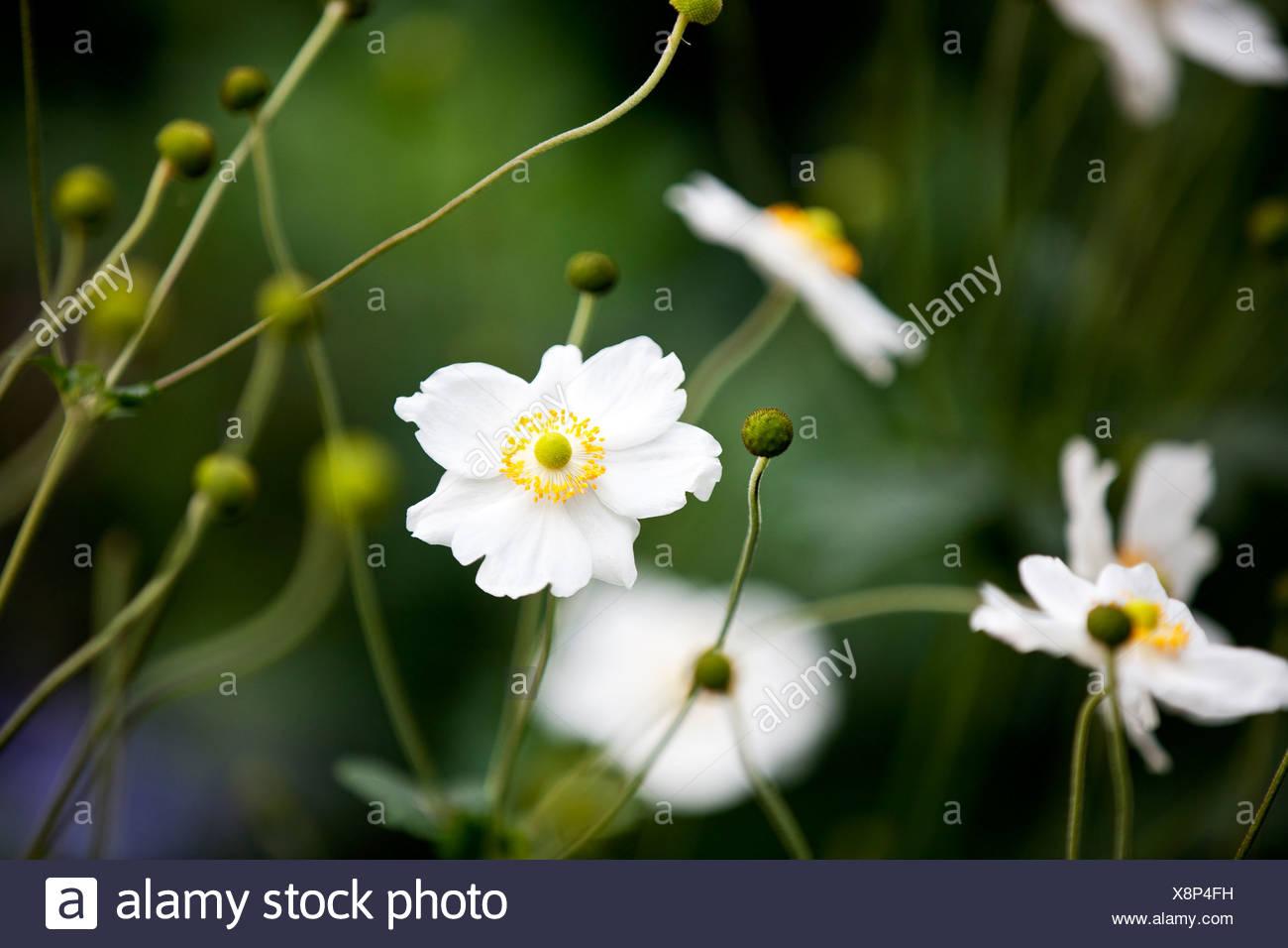 White flowers yellow center stock photos white flowers yellow white japanese anemone flowers stock image mightylinksfo Gallery