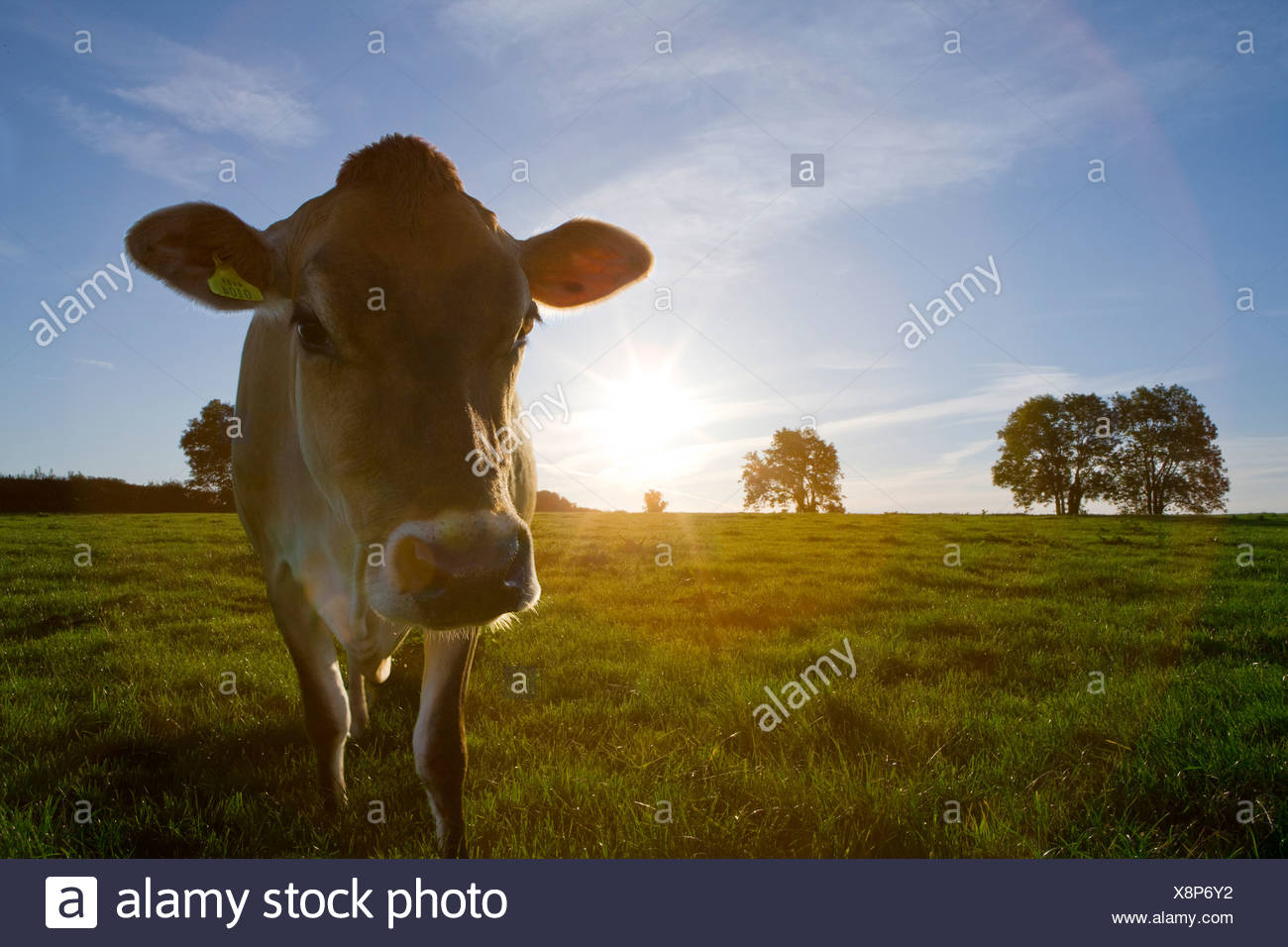 Jersey cow in sunny field - Stock Image