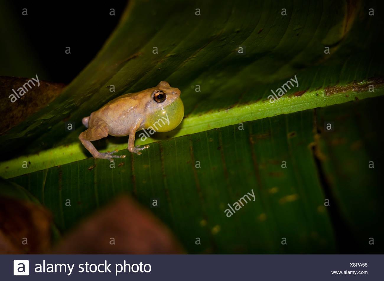 Frog on a leaf - Stock Image