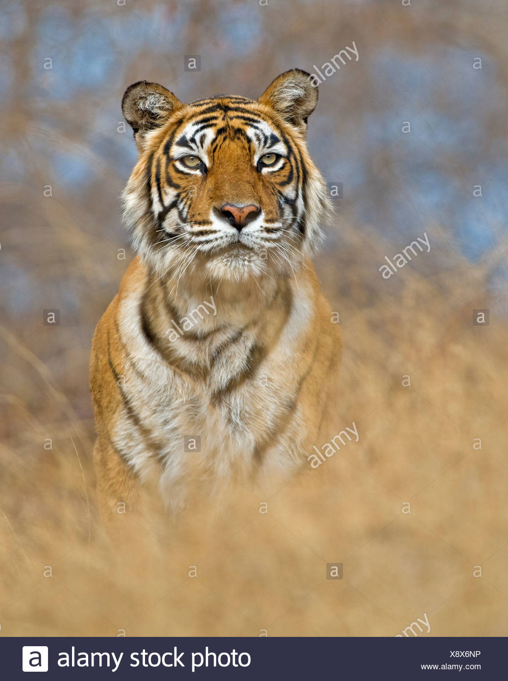 BENGAL TIGER (Panthera tigris tigris) female named machali. India - Stock Image