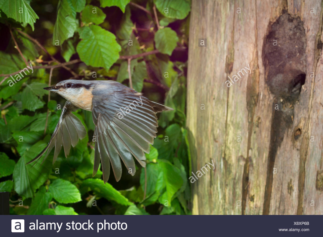 Eurasian nuthatch (Sitta europaea), taking off the breeding cave, entrance was made by the bird smaller with clay, Germany, North Rhine-Westphalia - Stock Image