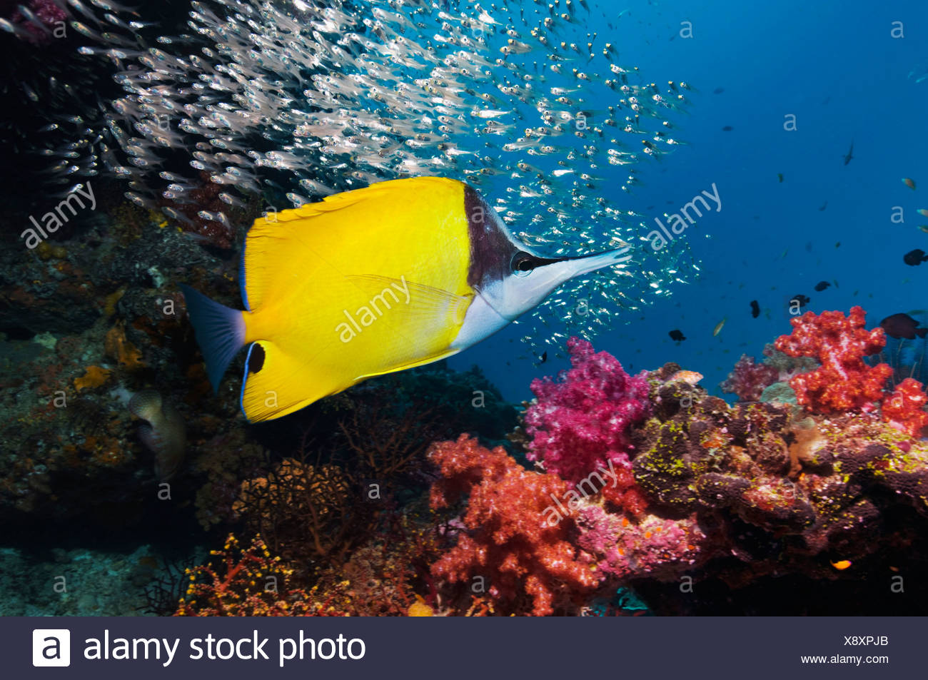Long-nosed butterflyfish over coral reef scenery with soft corals. Andaman Sea, Thailand. - Stock Image