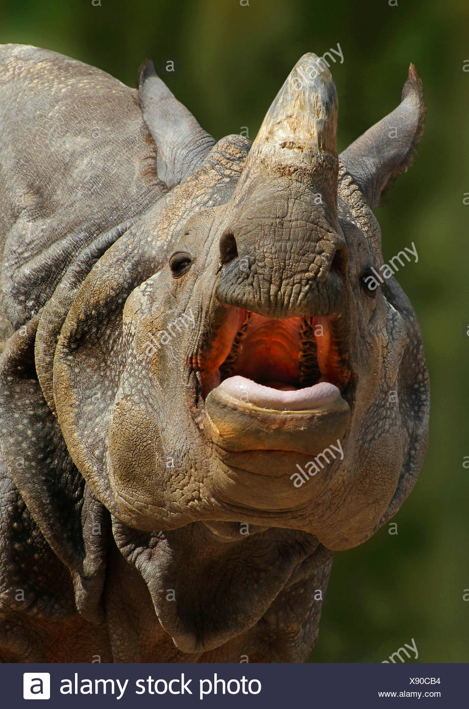 Greater Indian rhinoceros, Great Indian One-horned rhinoceros (Rhinoceros unicornis), portrait with mouth open, India - Stock Image