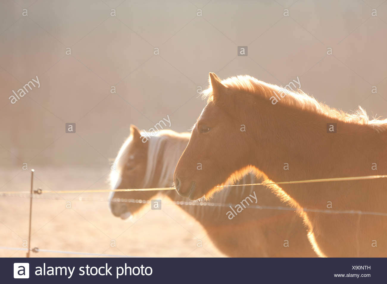Germany, Hesse, Horses on pasture in morning light - Stock Image