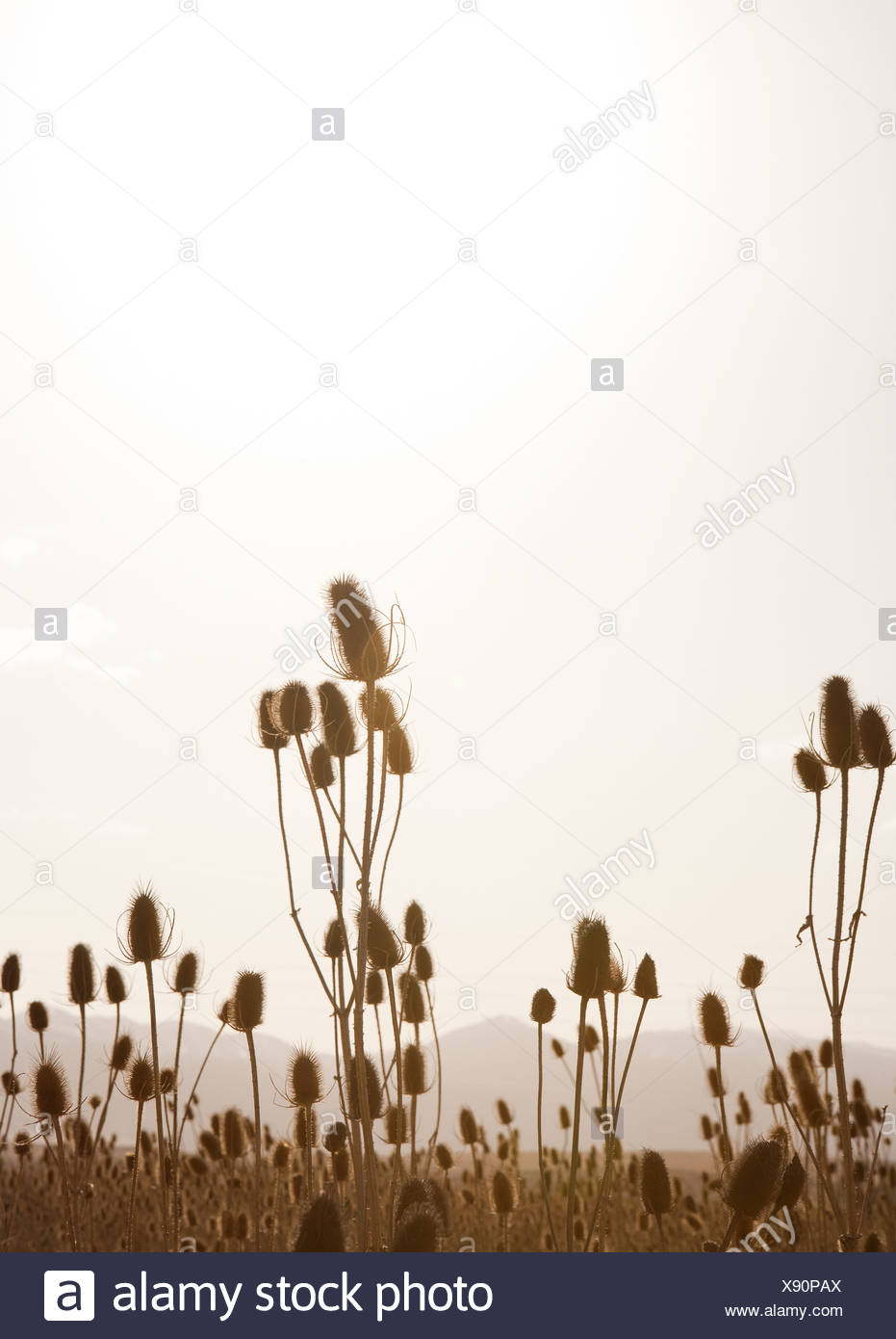 Backlit reeds and grass - Stock Image