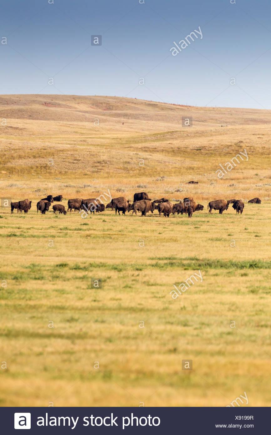 Plains Bison (Bison bison bison) in Grasslands National Park, Saskatchewan, Canada - the Bison roam freely throughout the park - Stock Image