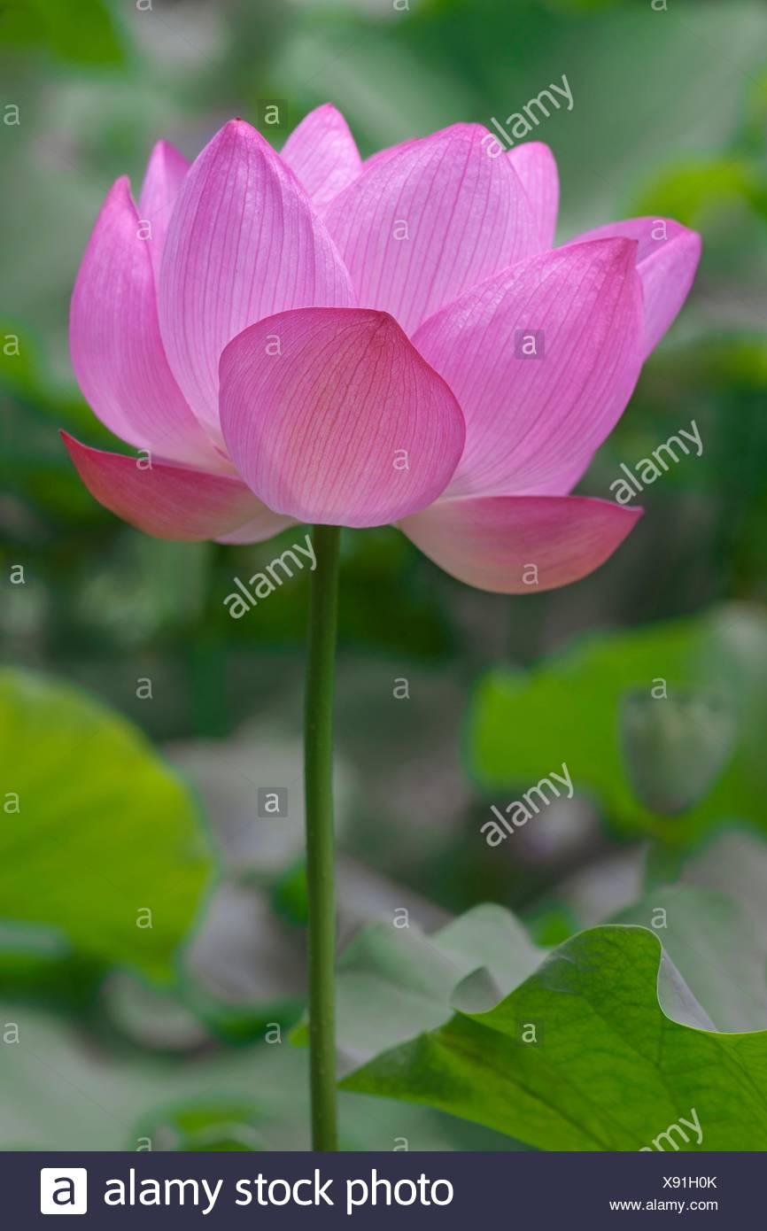 Lotus flower side view stock photos lotus flower side view stock sacred lotus nelumbo nucifera called indian lotus bean of india and lotus izmirmasajfo Choice Image