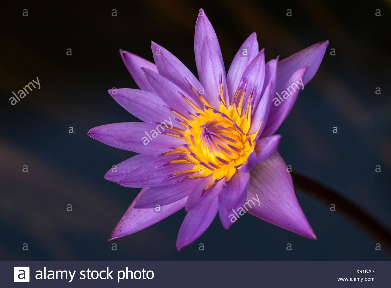 Blue Lotus Also Blue Water Lily Or Sacred Blue Lily Nymphaea