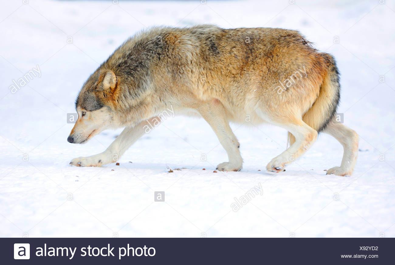 Mackenzie valley wolf - photo#31