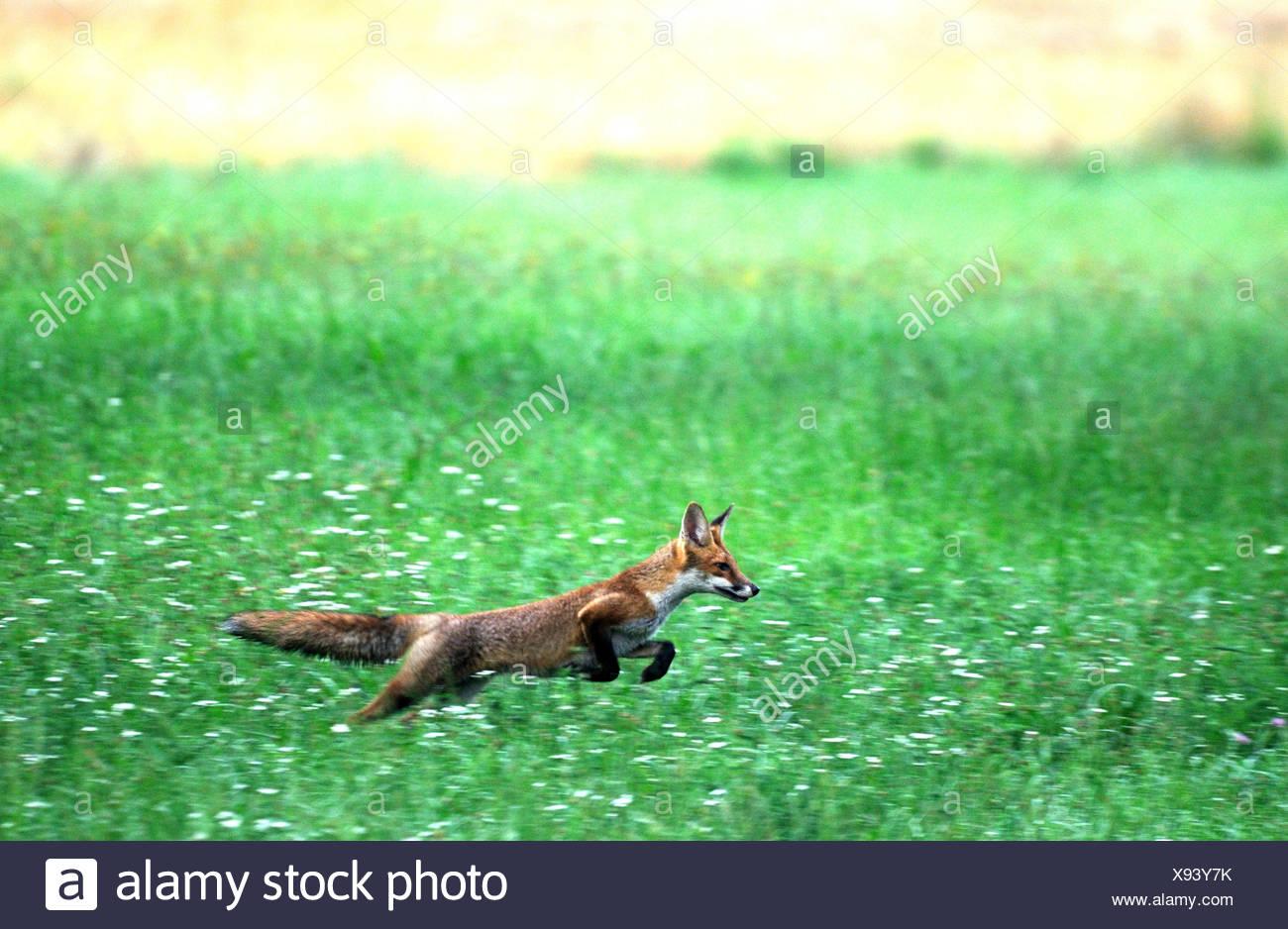 Red fox fox predator canids crafty European fox Vulpes vulpes foxes young grain-field cornfield jumping animal animals Germa - Stock Image