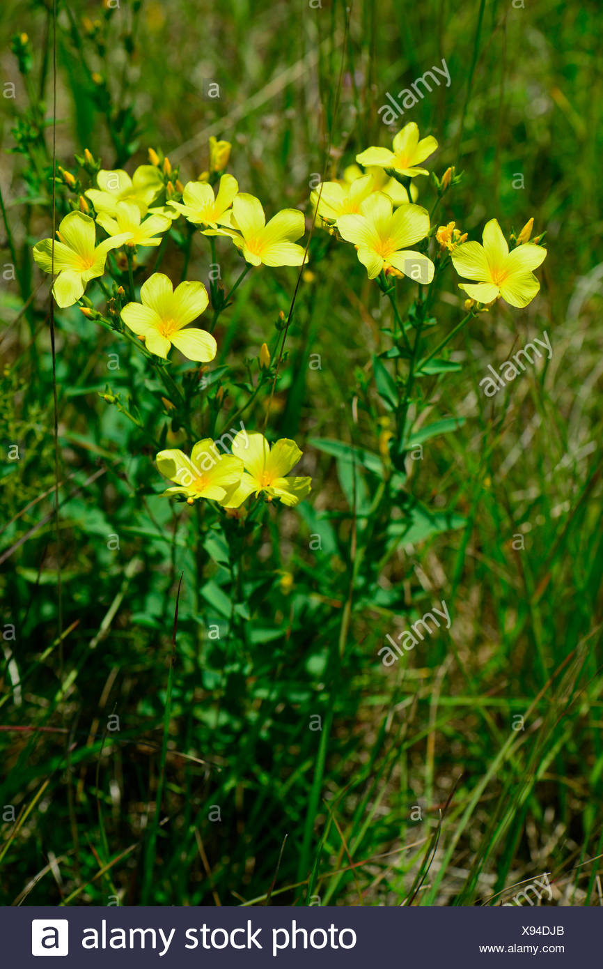 Golden flax yellow flax linum flavum flowering plant austria golden flax yellow flax linum flavum flowering plant austria mightylinksfo