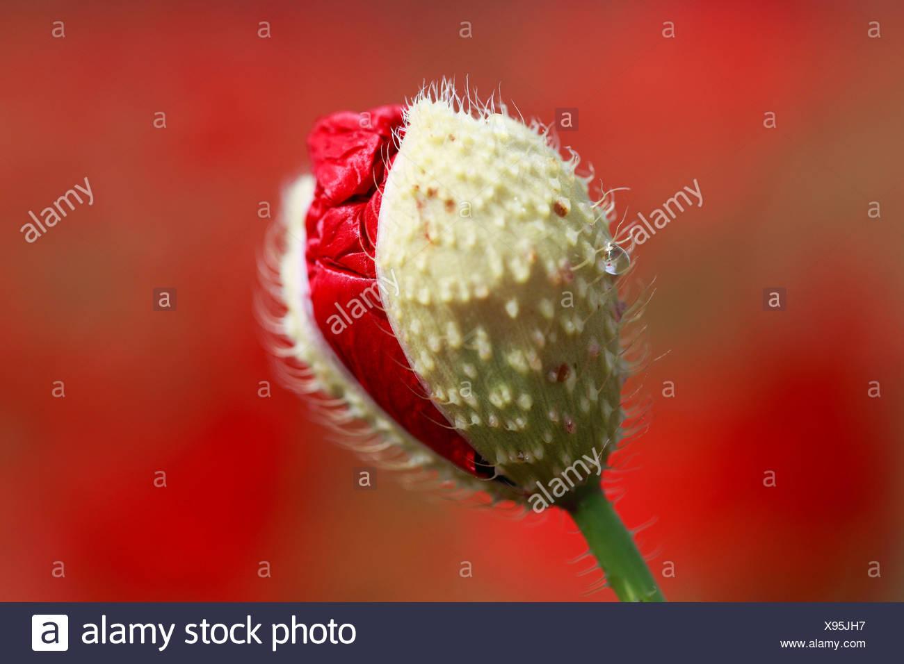 Flower Unfolding Flora Birth Seedling Red Poppy Macro Poppy