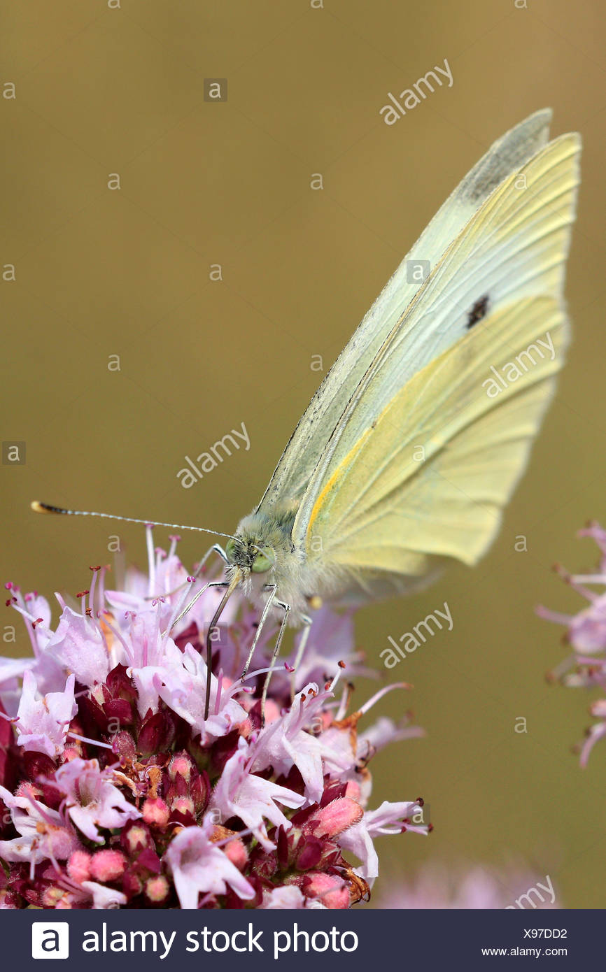 Small white, Cabbage butterfly, Imported cabbageworm (Pieris rapae, Artogeia rapae), on pink flowers on  Origanum vulgare, Germany - Stock Image