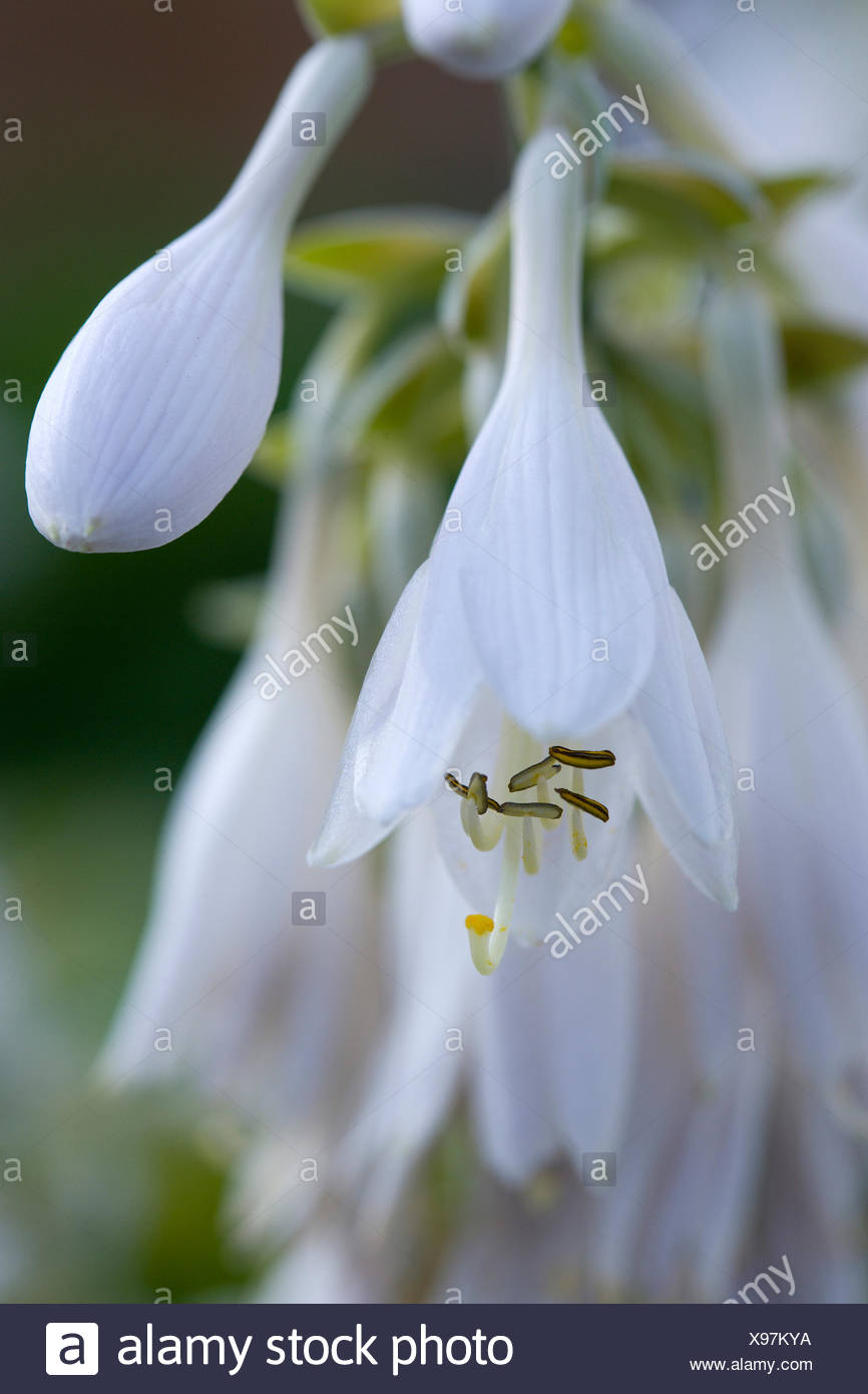 Hosta Cultivar White Pendulous Flowers With Long Curved Stamens