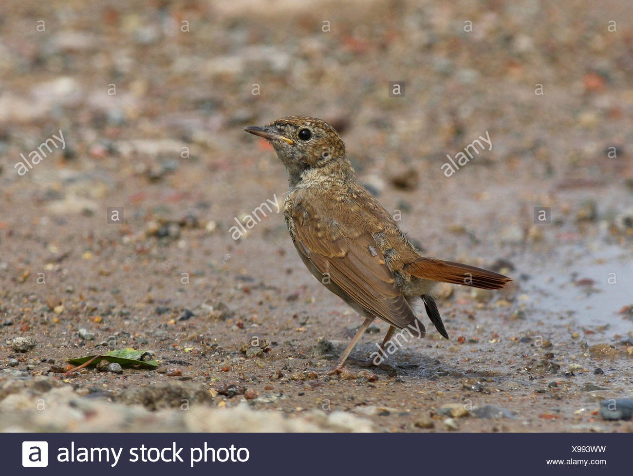 nightingale (Luscinia megarhynchos), juvenile at a puddle, Germany - Stock Image