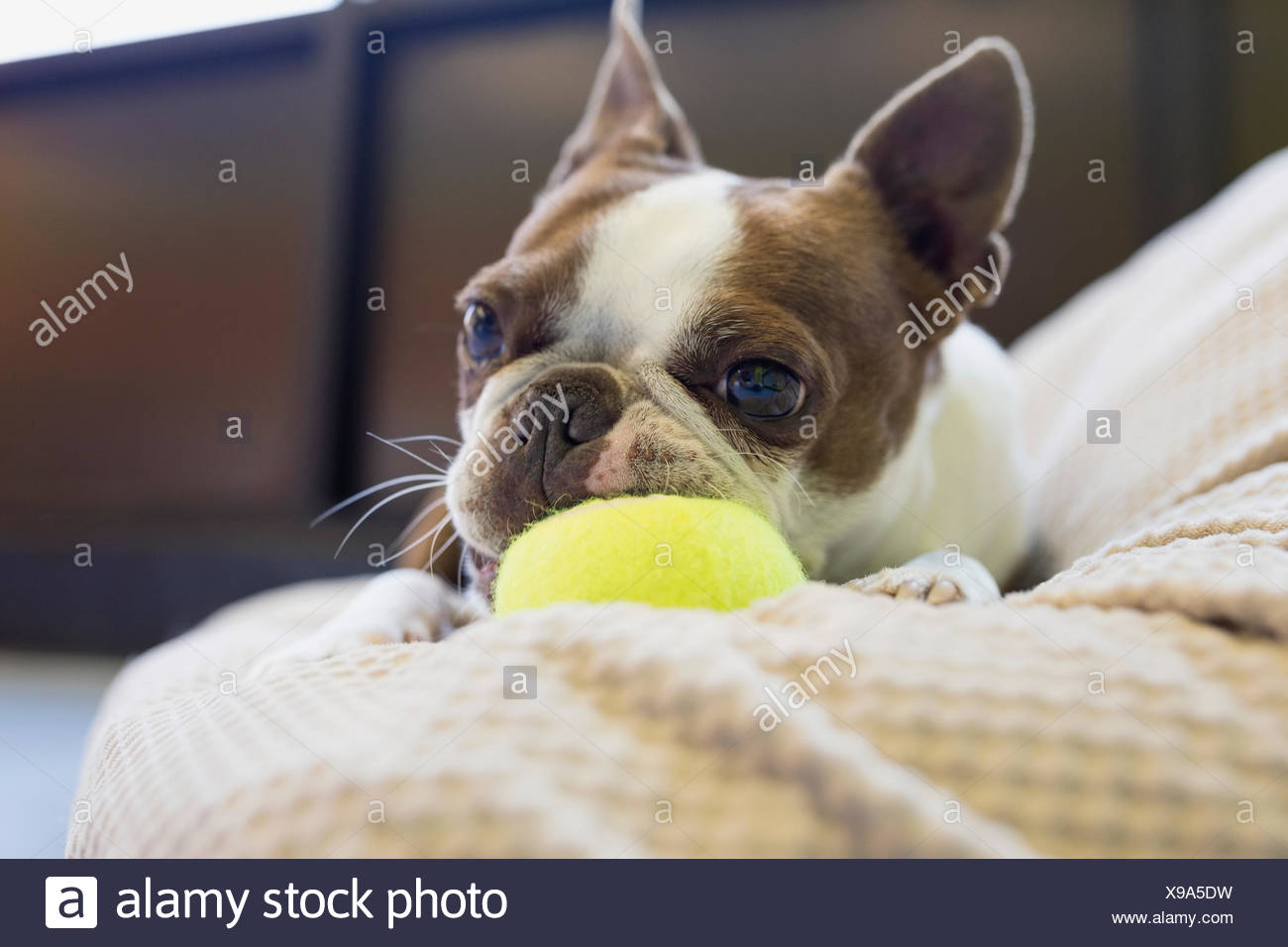 Boston Terrier chewing tennis ball - Stock Image