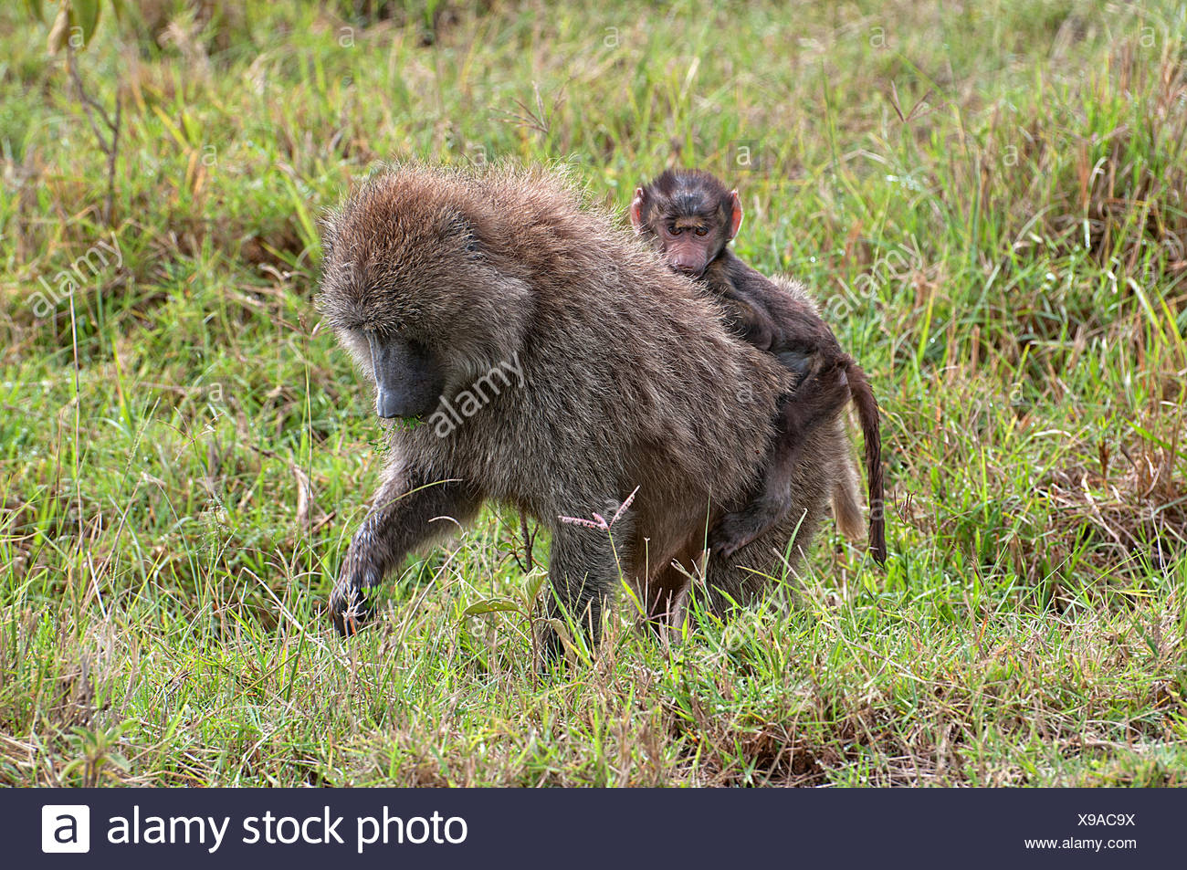 Female Olive Baboon carrying a baby on her back whilst feeding in grassland in Lake Nakuru National Park Kenya East Africa  OLIV - Stock Image