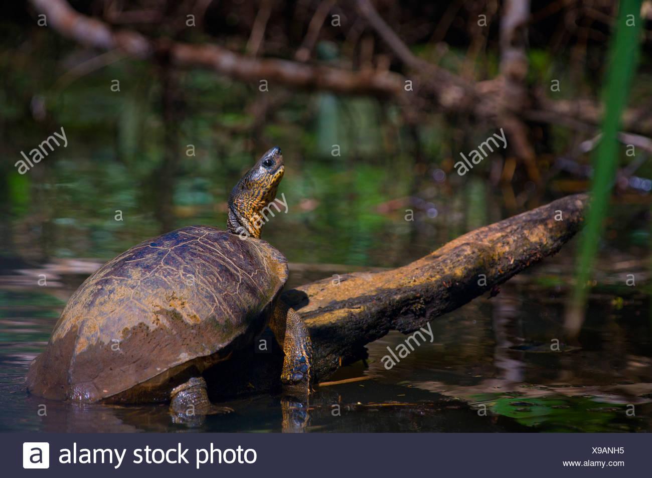 Black River Turtle (Rhinoclemmys funerea) - Stock Image