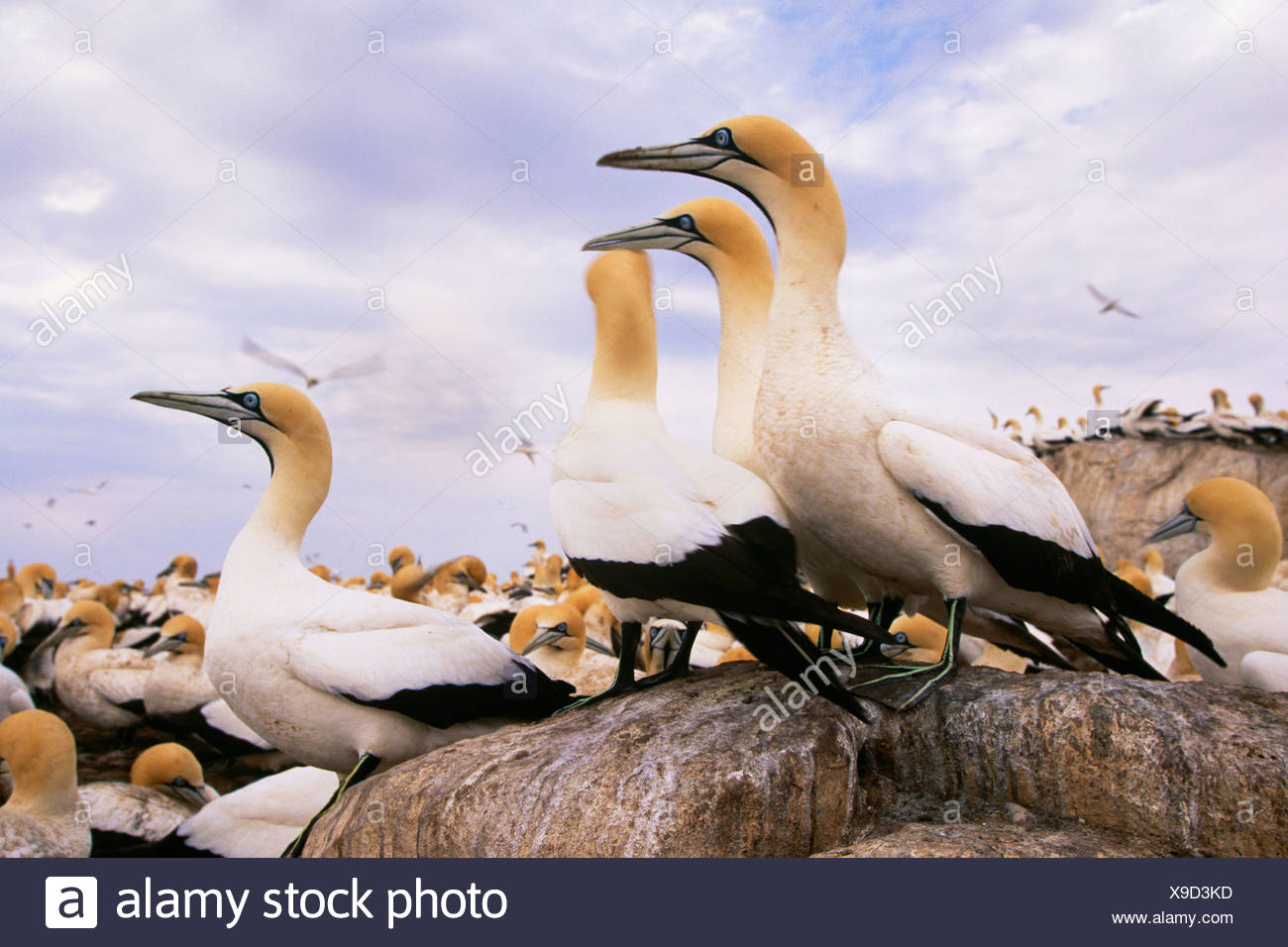 Cape gannets, Cape of Good Hope, South Africa - Stock Image