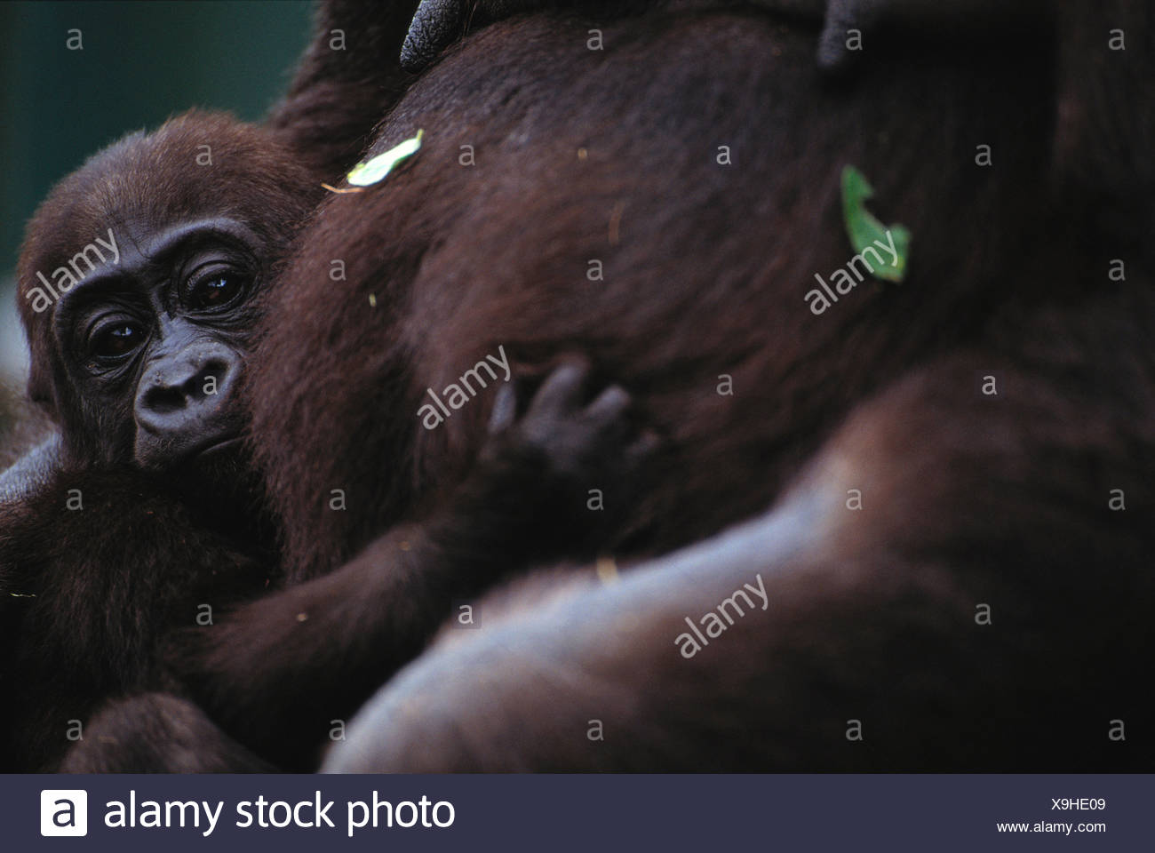 Lowland gorilla and infant, Uganda - Stock Image