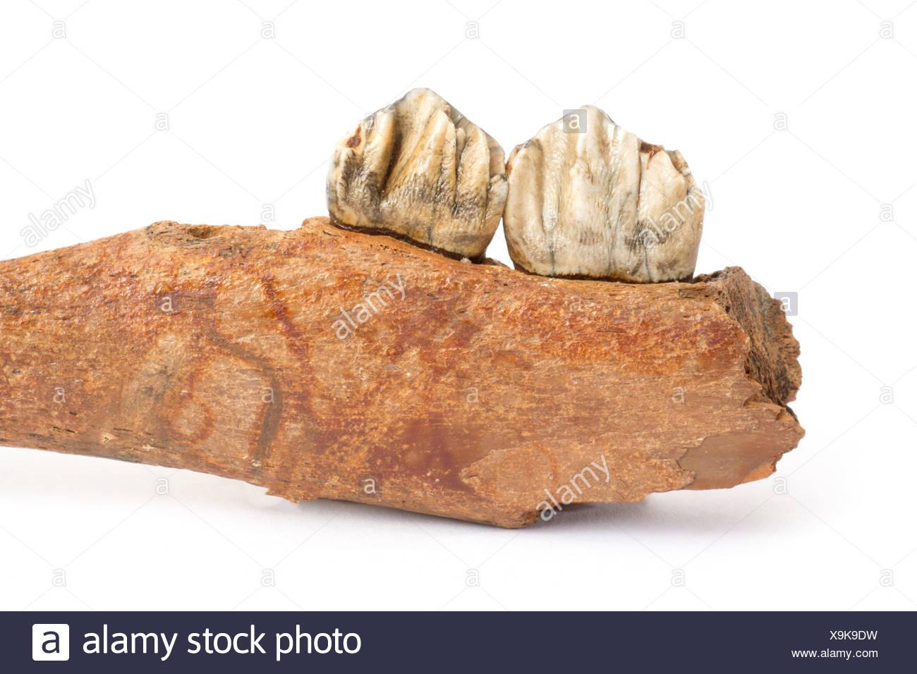 Pine, Jaw, gigantic deer, Megalocerus giganteus germanicus, Pleistocene, fossil, fossilization, primeval times, deer, stag, toot - Stock Image