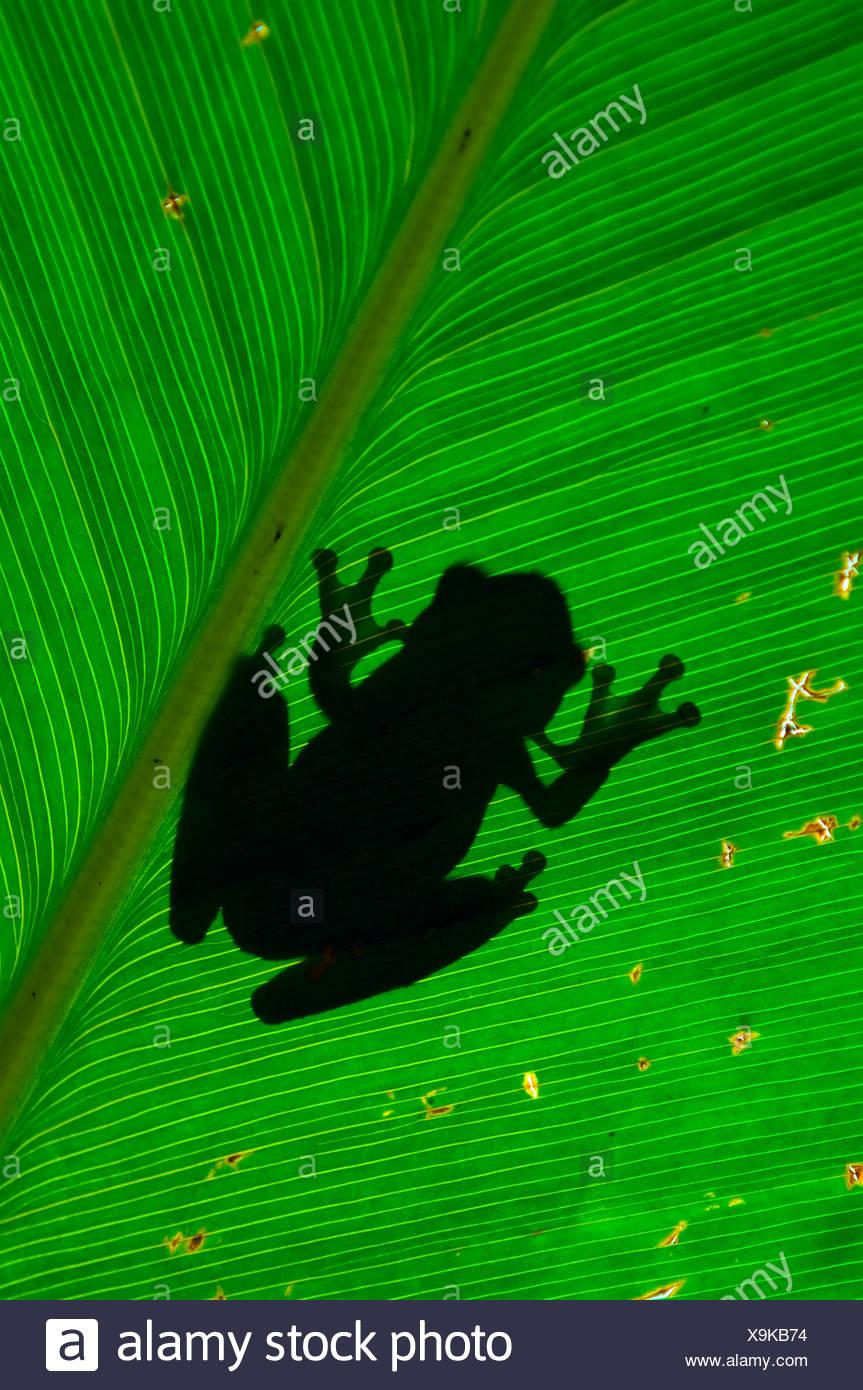 Tree frog silhouette on leaf - Stock Image