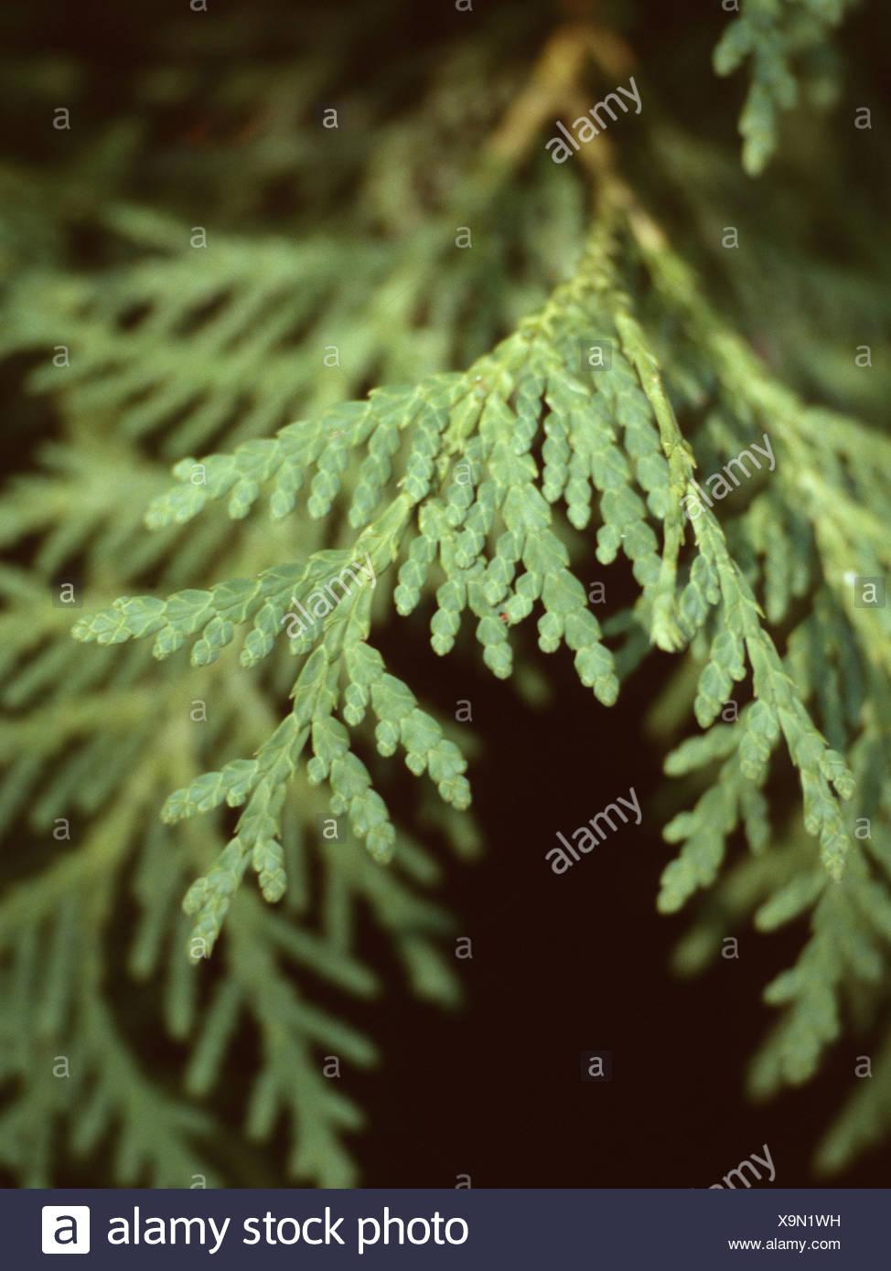 Eastern White Cedar Leaf
