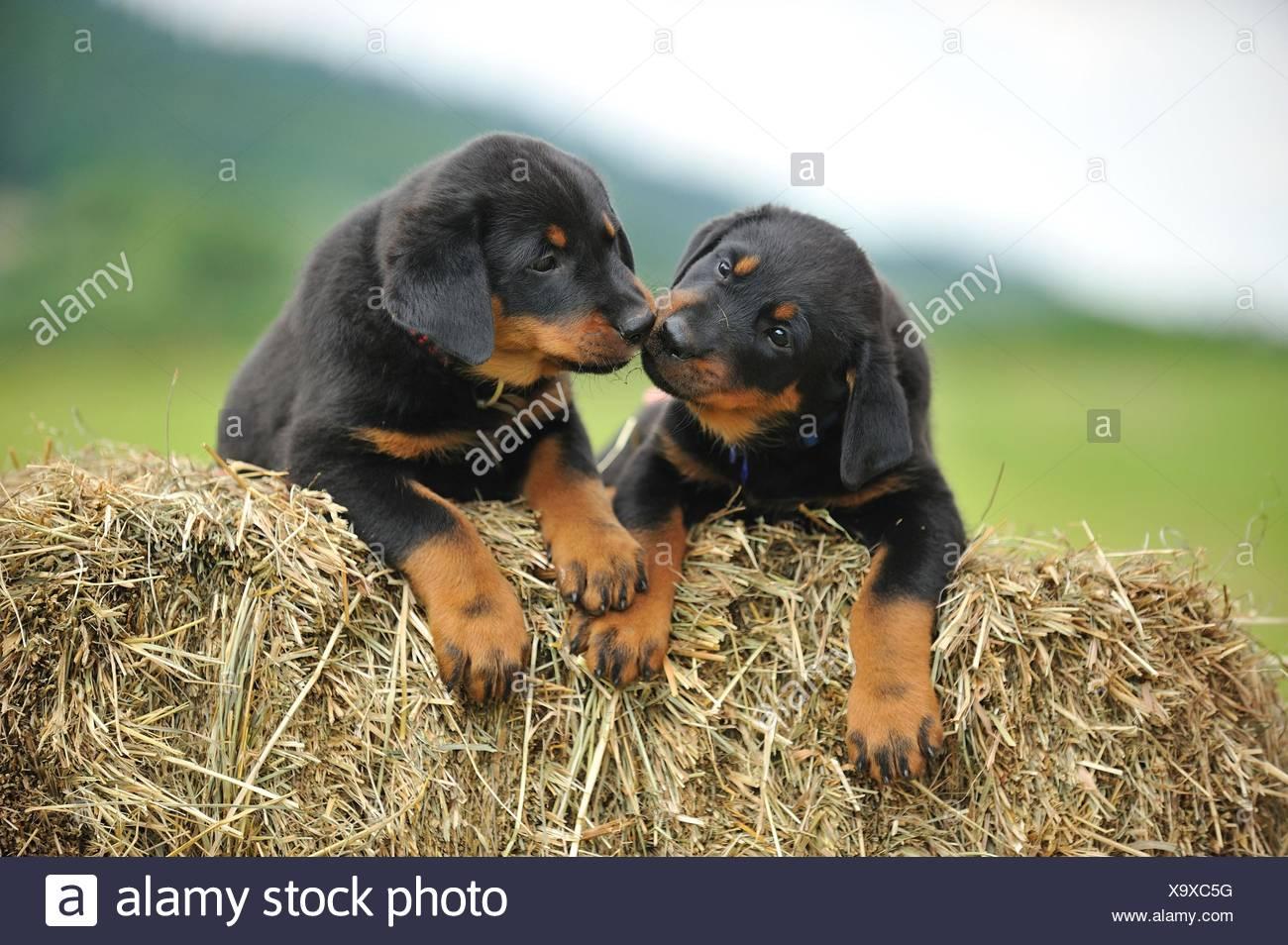 Beauceron Puppies Stock Photo 281478108 Alamy