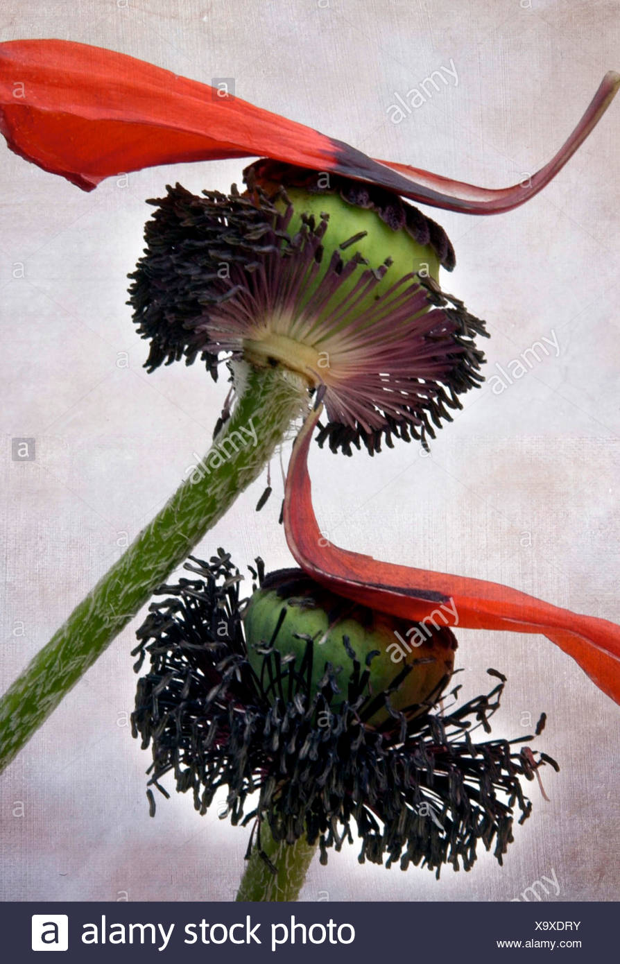 Withered poppy stock photos withered poppy stock images alamy dying flowers stock image mightylinksfo Gallery