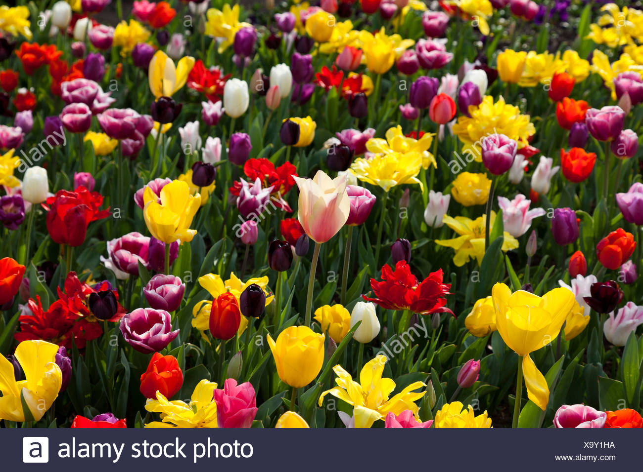 Europe, Germany, North Rhine Westphalia, View of multi coloured tulip flower bed - Stock Image