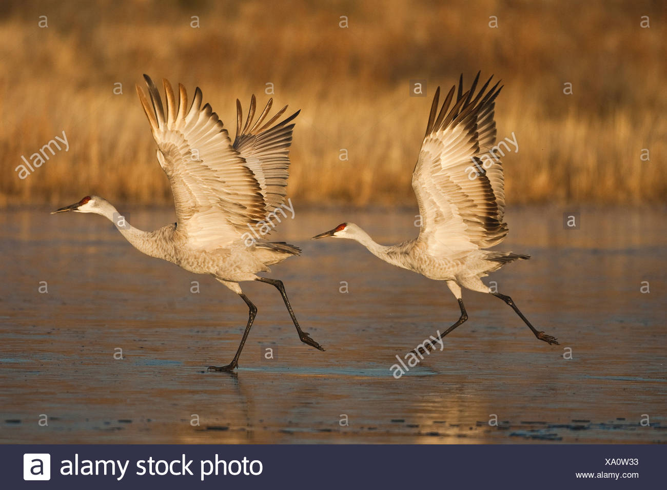 Sandhill Crane (Grus canadensis) adults taking off, Bosque del Apache National Wildlife Refuge , New Mexico, USA - Stock Image