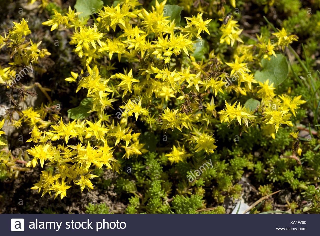 Tasteless Stonecrop Tasteless Yellow Stonecrop Hexagon Stonecrop