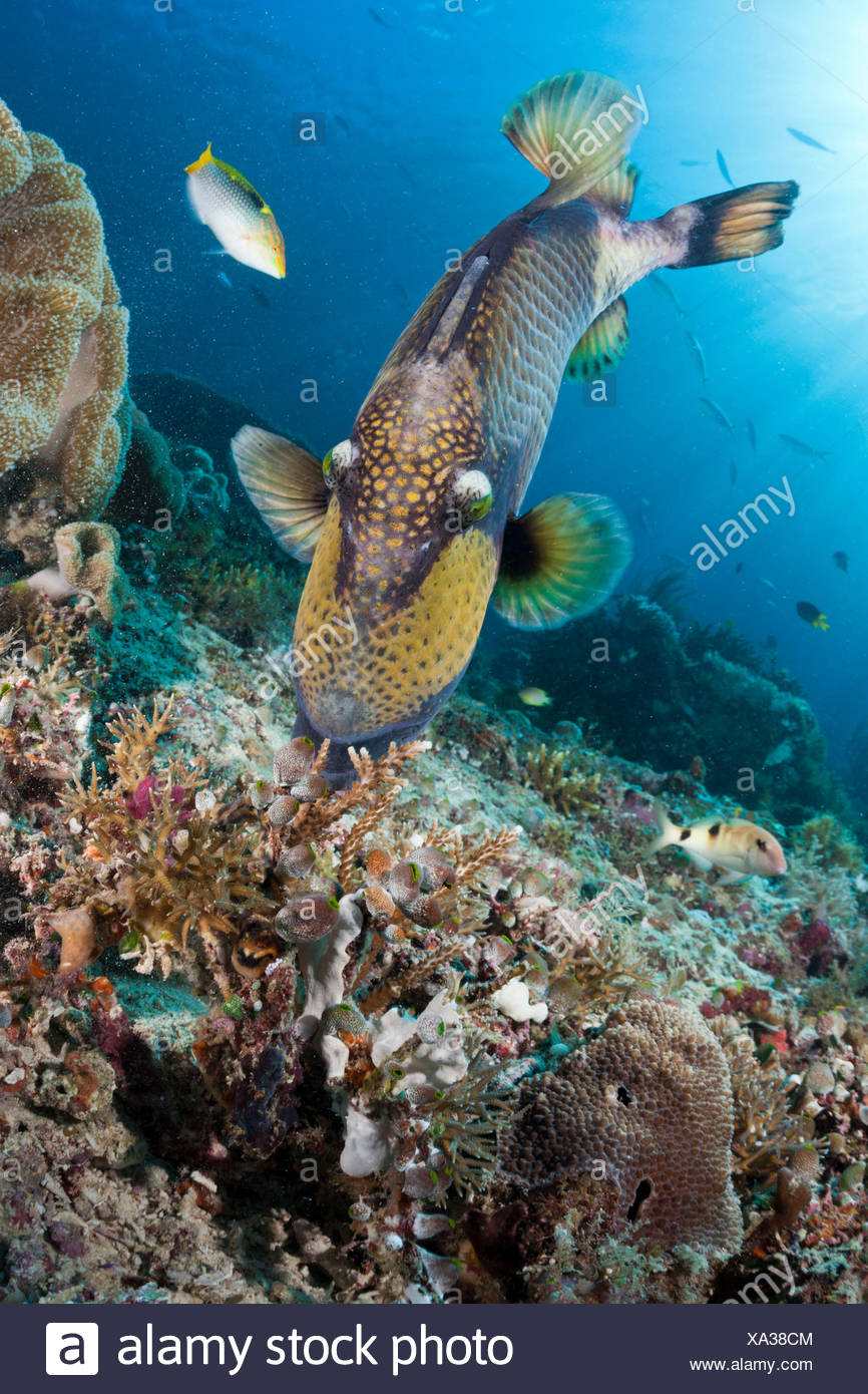 Green gigantic pushbutton, Balistoides viridescens, Raja Ampat, west Papua, Indonesia - Stock Image
