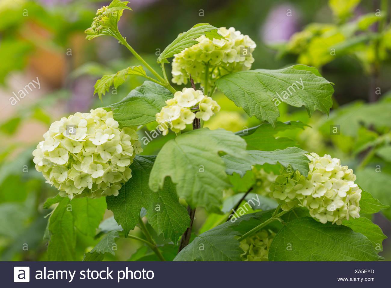 Hydrangea bush with white flowers stock photo 281633953 alamy hydrangea bush with white flowers mightylinksfo