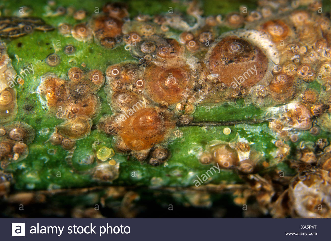 Californian red scale insects Aonidiella aurantii on lemon wood Sicily - Stock Image