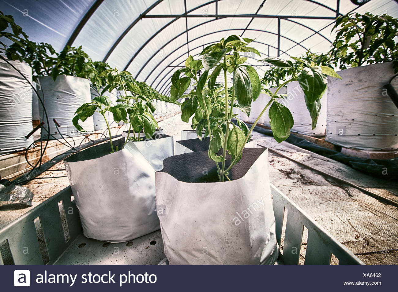 Tomato plants in growth bags inside poly tunnel - Stock Image