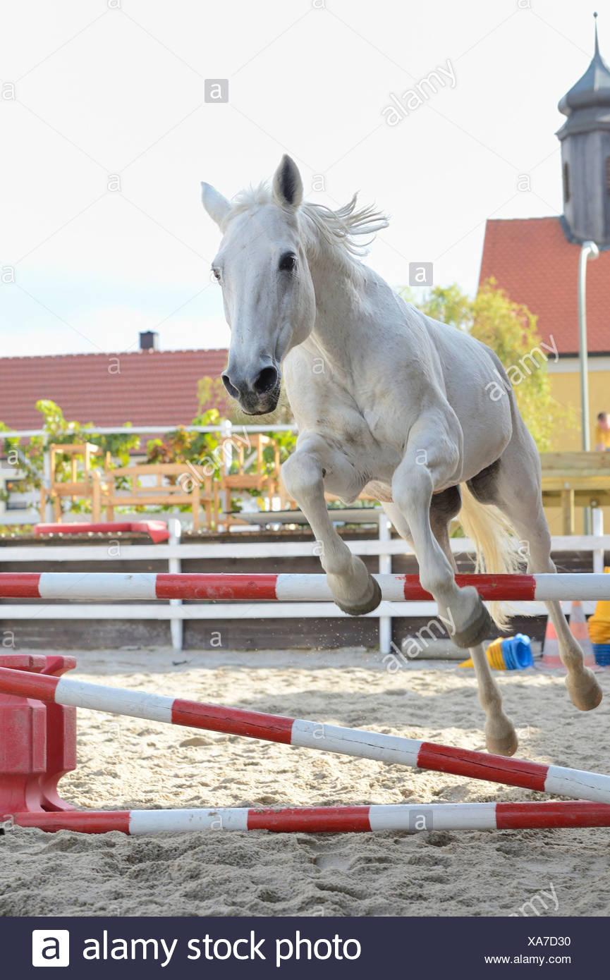 Gray horse jumping in a show-jumping course, portrait - Stock Image