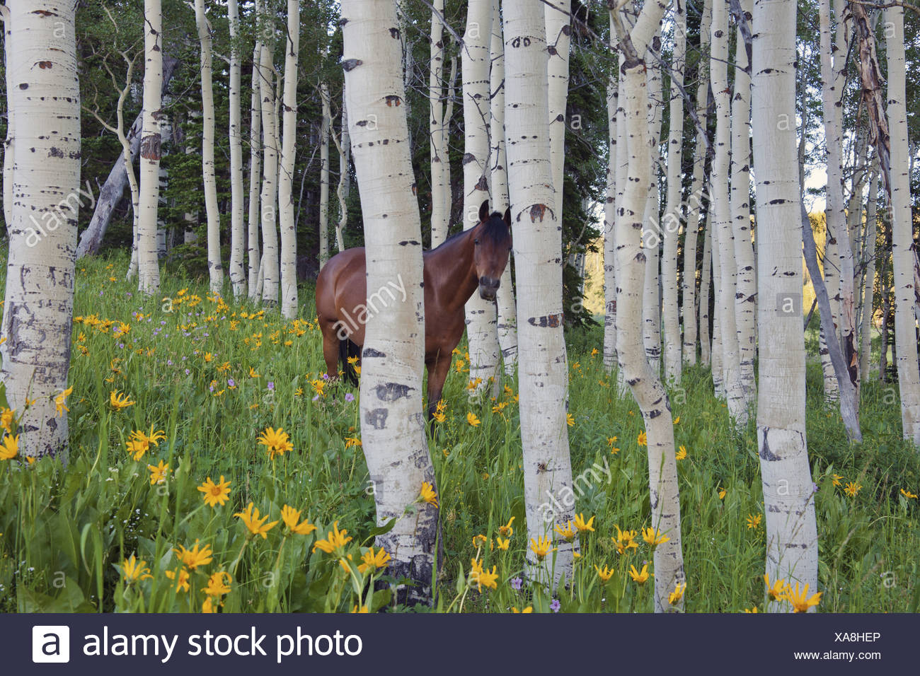 Horse in a field of wildflowers and aspen trees Uinta Mountains Utah - Stock Image