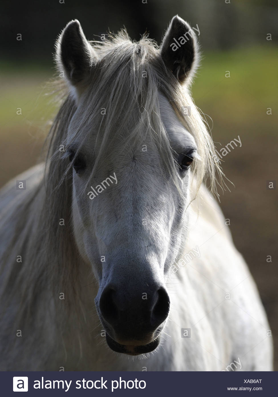 A white welsh wild pony in the Brecon Beacons. - Stock Image