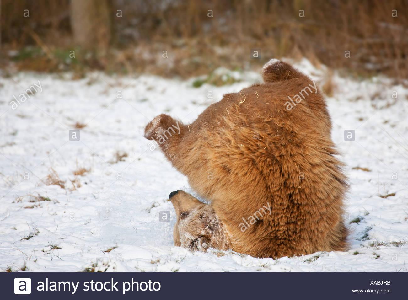 Bavaria, European brown bear in snow - Stock Image