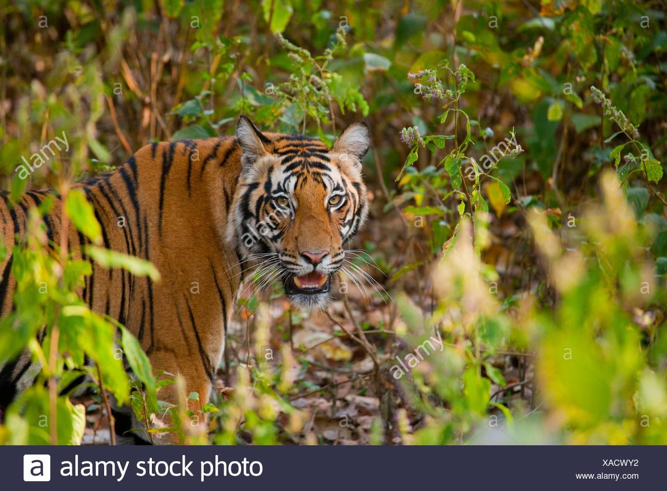 Bengal Tiger, Bandhavgarh National Park, Madhya Pradesh, India - Stock Image