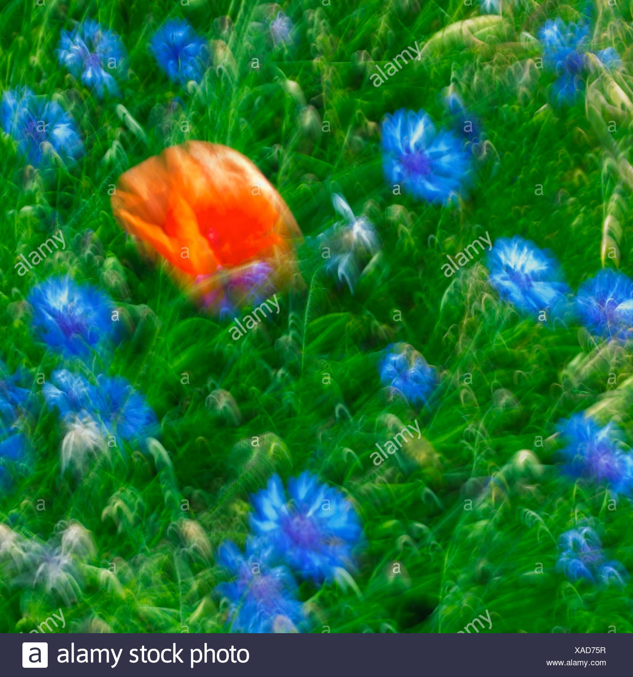 Abstract Image Of A Poppy Flower And Flax Germany Stock Photo