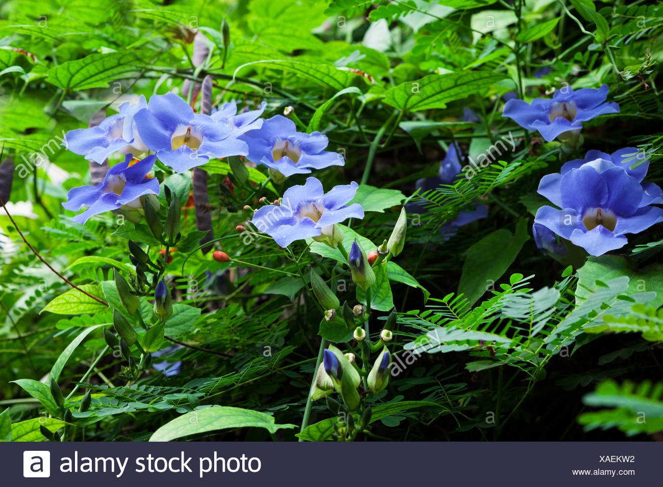 Ivy with blue flowers stock photo 281835374 alamy ivy with blue flowers izmirmasajfo