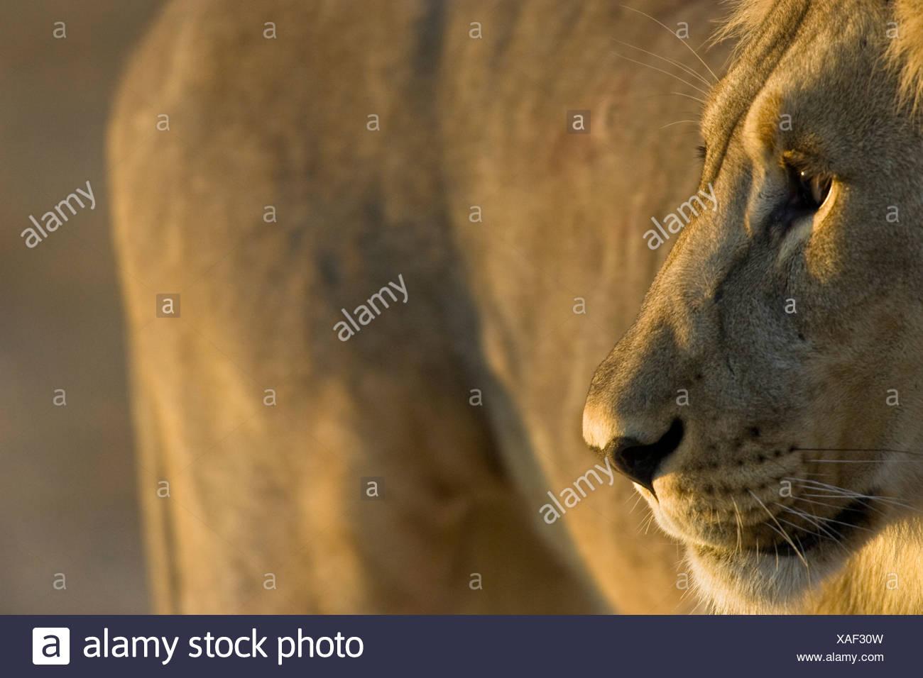 Lion portrait, Etosha National Park, Namibia - Stock Image