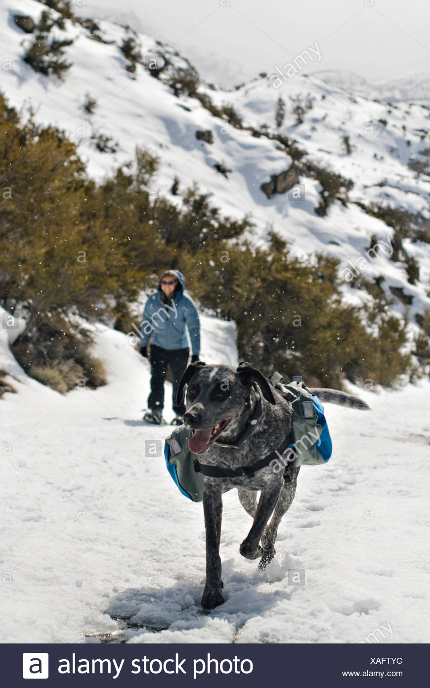 An Australian Shepard Mix, named Smokey, and a young woman trek up a snowy path. - Stock Image