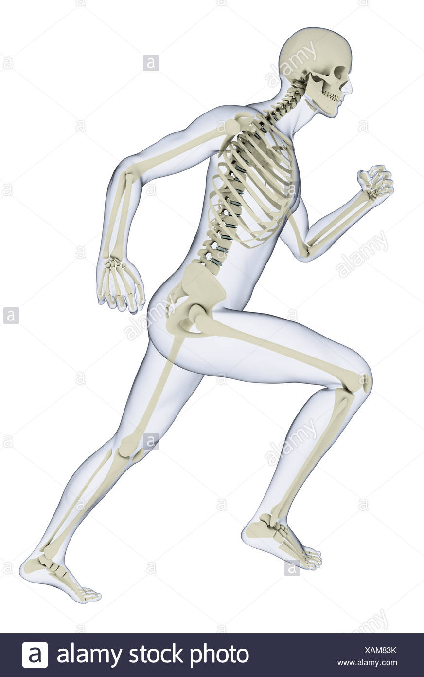 human skeleton in running position illustration stock photo