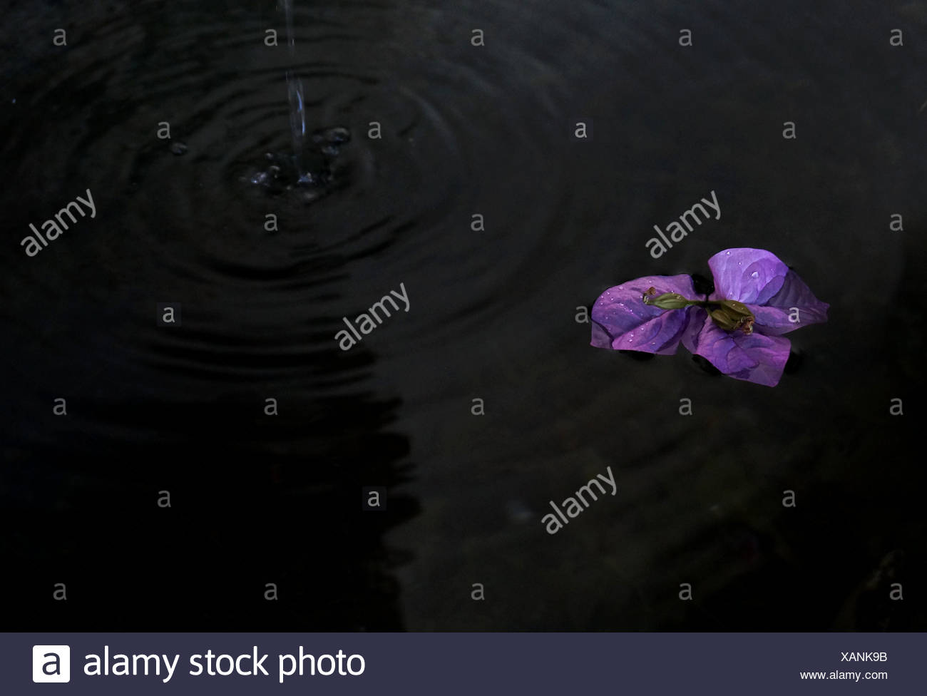 High Angle View Of Purple Flower In Pond - Stock Image