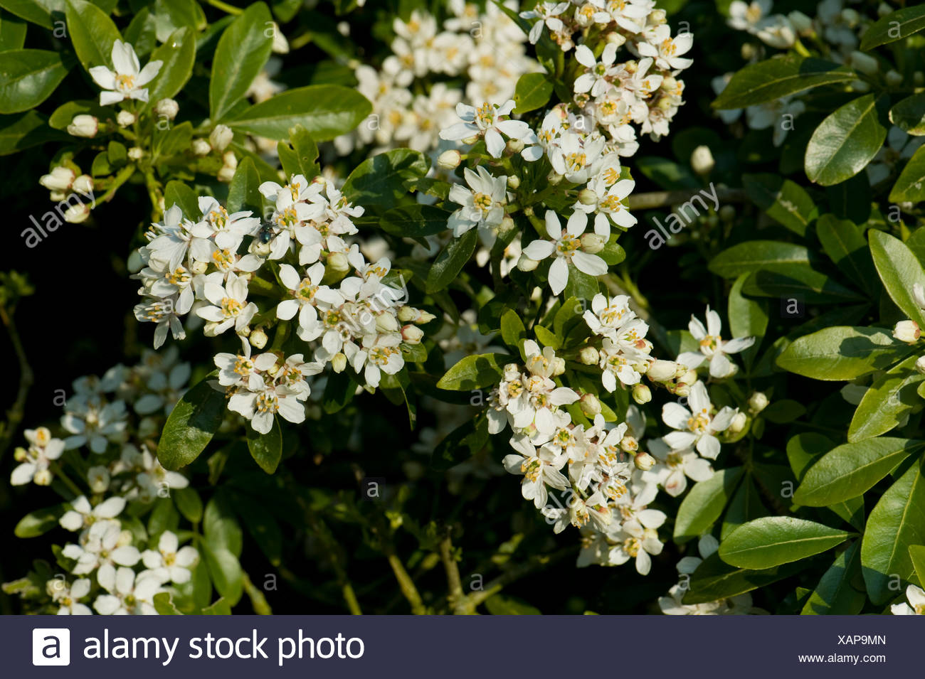 Mexican or mock orange choisya ternata flowering shrub with white mexican or mock orange choisya ternata flowering shrub with white highly scented flowers mightylinksfo