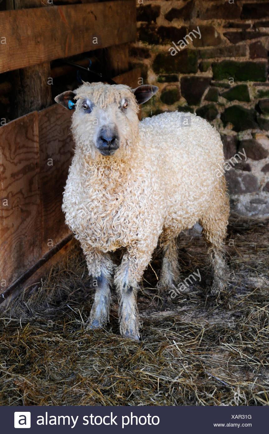 Wensleydale sheep - Stock Image